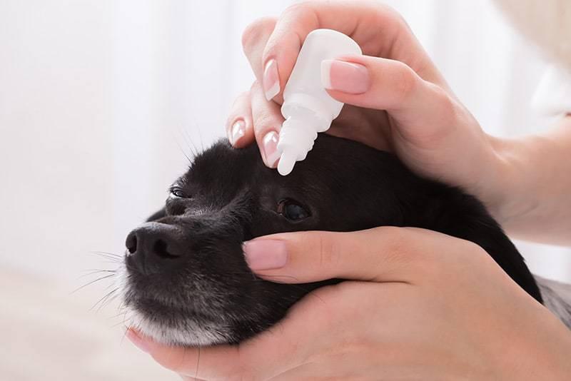 Zapalenie spojówek psa: leczenie i zapobieganie