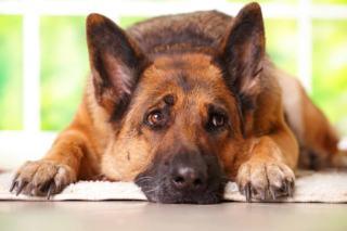 Niewydolność trzustki u psa