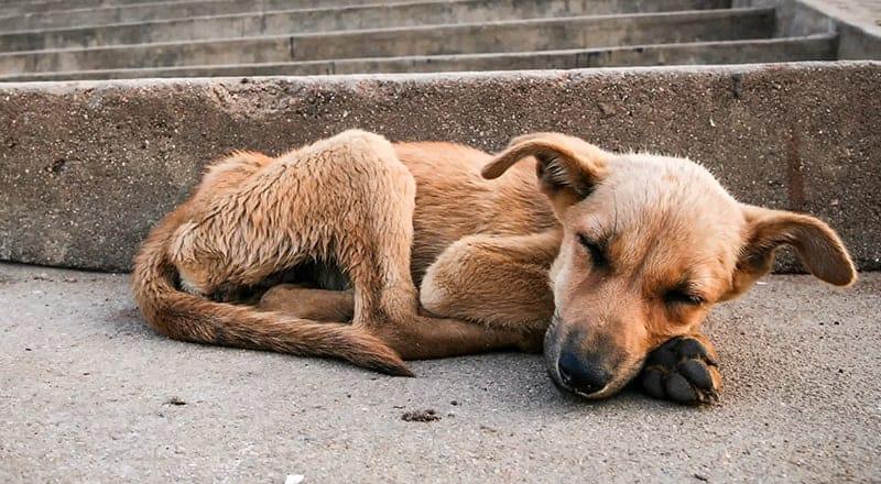 Niewydolność trzustki u psa objawy