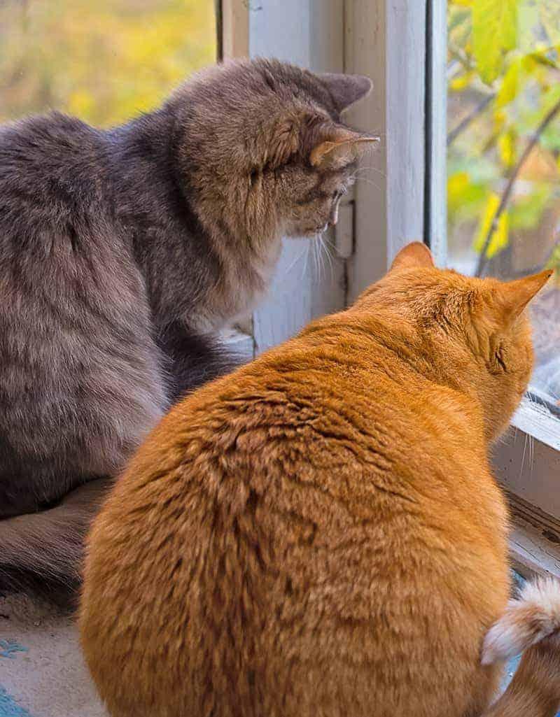 Otyłość u kota