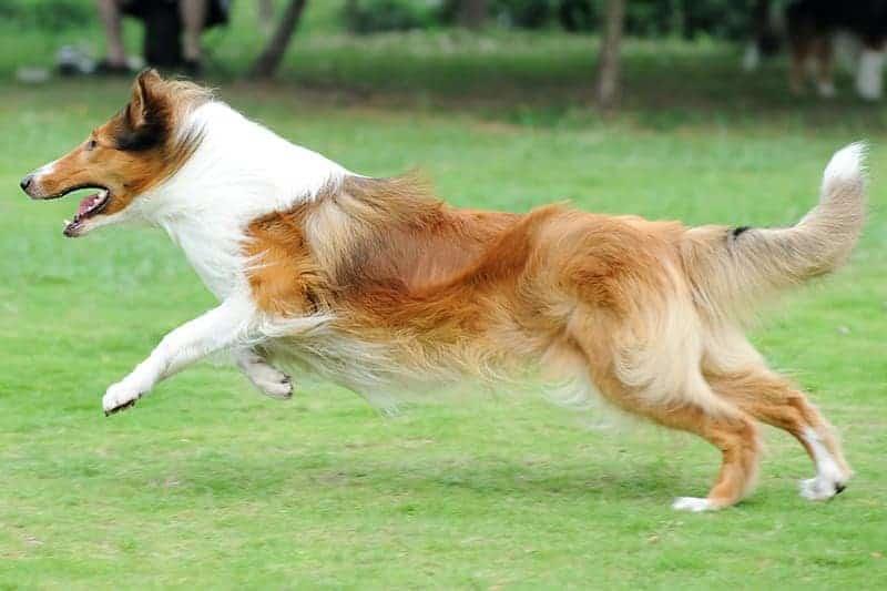 Które psy są najbardziej narażone na ZNT?