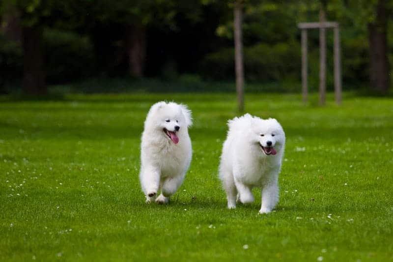 Jak wygląda pies rasy Samoyed?