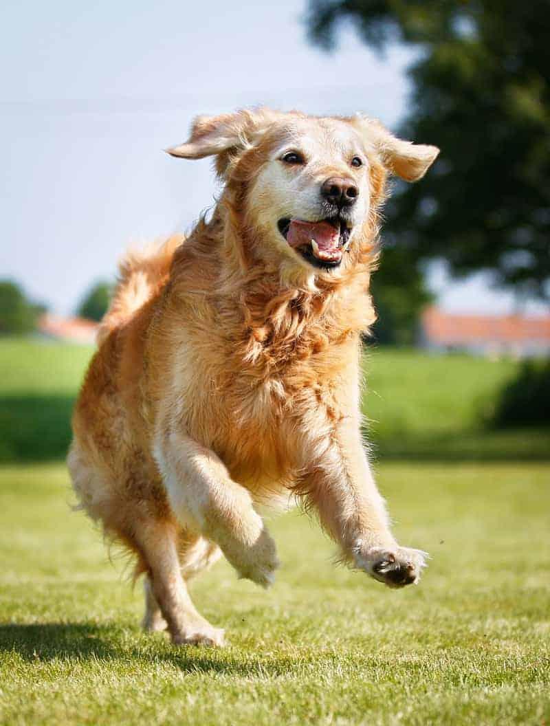 Aktywność fizyczna u starszych psów