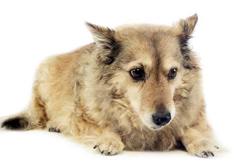 Ile żyje pies?