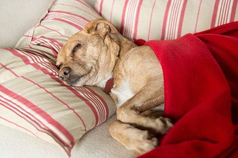 Jakie są oznaki że pies umiera?