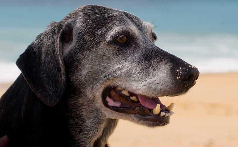 Pies senior od ilu lat