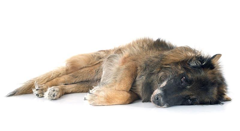 Z czym wiąże się starość u psa?