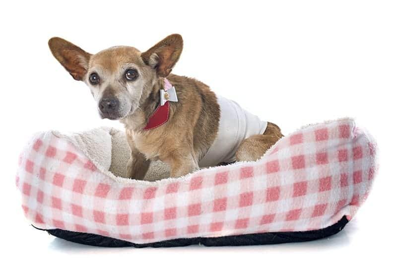 Pies senior: zalecenia zdrowotne