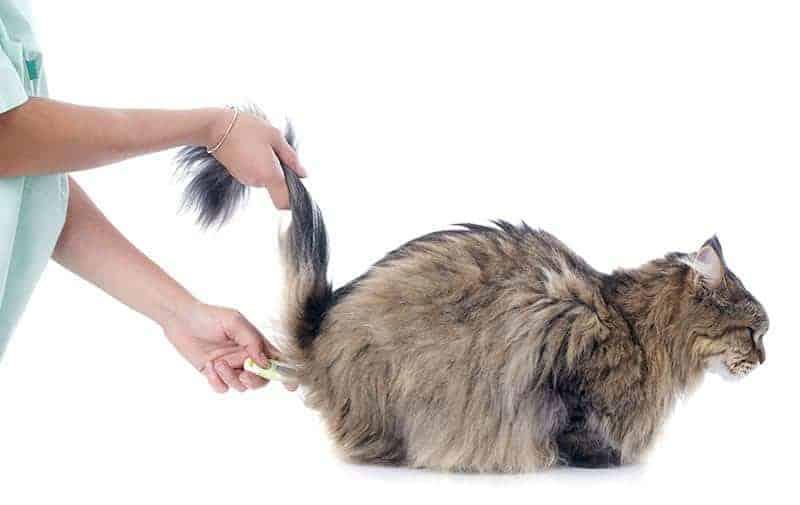 Jak zmierzyć temperaturę u kota?