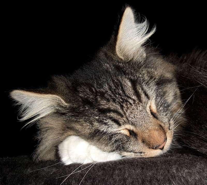 Kot Norweski Leśny Charakter Pielęgnacja I Predyspozycje Do Chorób