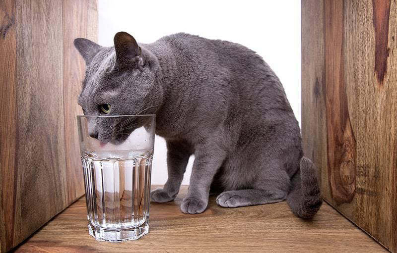 Zwiększone pragnienie u kota rosyjskiego może być objawem niewydolności nerek