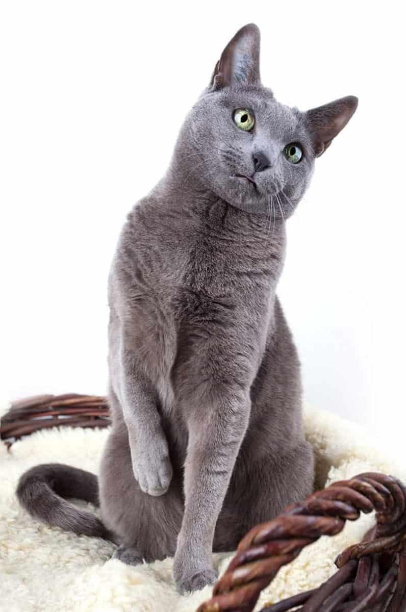 Kot rosyjski niebieski - ile żyje?