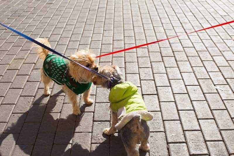 Podczas cieczki zauważysz spore zainteresowanie psów na spacerach.