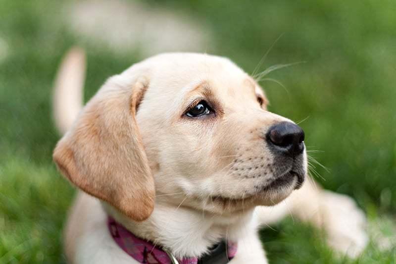 Cieczka U Psa Ile Trwa Cieczka I Kiedy Pierwsza Cieczka U Suki