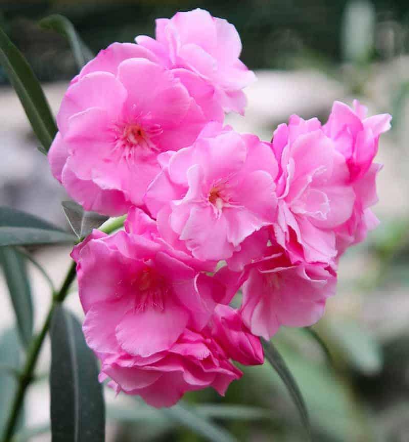 Rośliny trujące: oleander