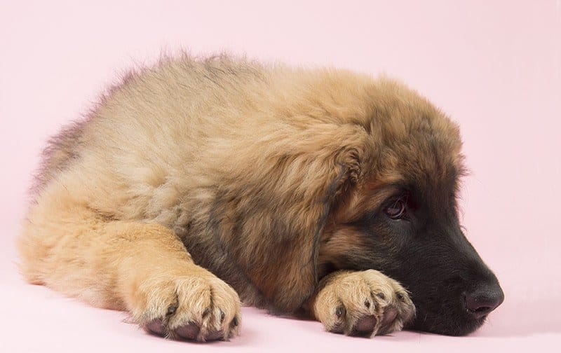 Leonberger choroby