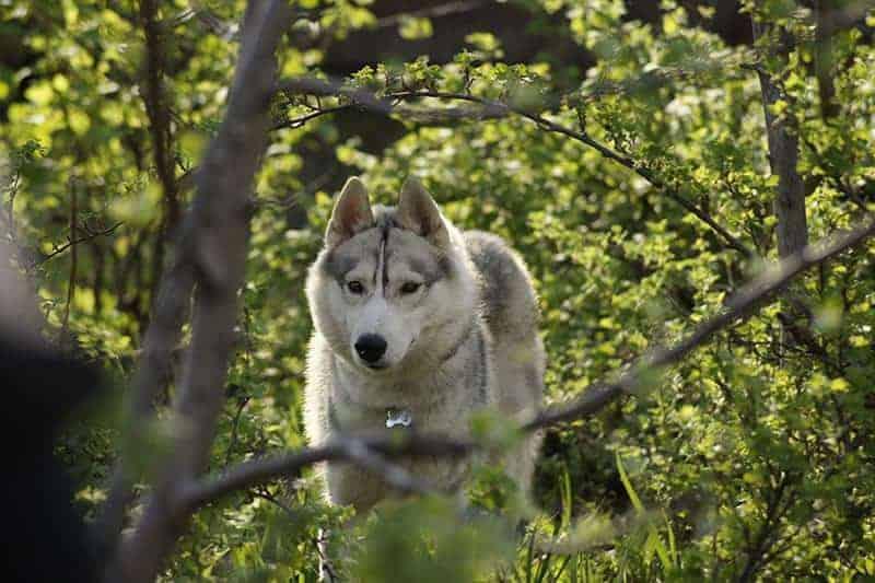 Siberian Husky charakter