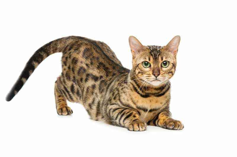 Zaawansowane Kot bengalski: usposobienie, pielęgnacja i predyspozycje do chorób SL48