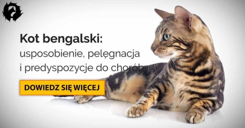 Kot bengalski: usposobienie, pielęgnacja i predyspozycje do chorób
