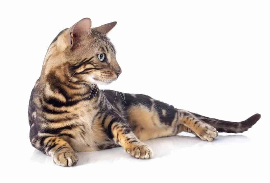 Dodatkowe Kot bengalski: usposobienie, pielęgnacja i predyspozycje do chorób JQ42