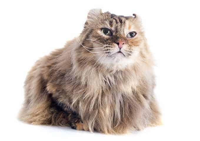 Ile żyje kot amerykański curl?