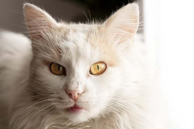 Ile żyją koty rasy angora turecka?