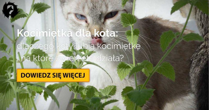 Kocimiętka dla kota: co to jest, jak działa i czy jest bezpieczna?