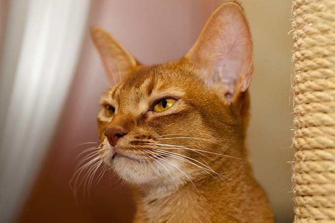 Ile żyje kot abisyński?
