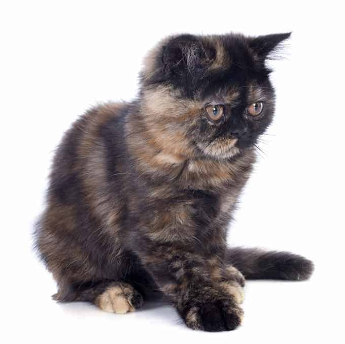 Jaka jest długość życia kota egzotycznego krótkowłosego?