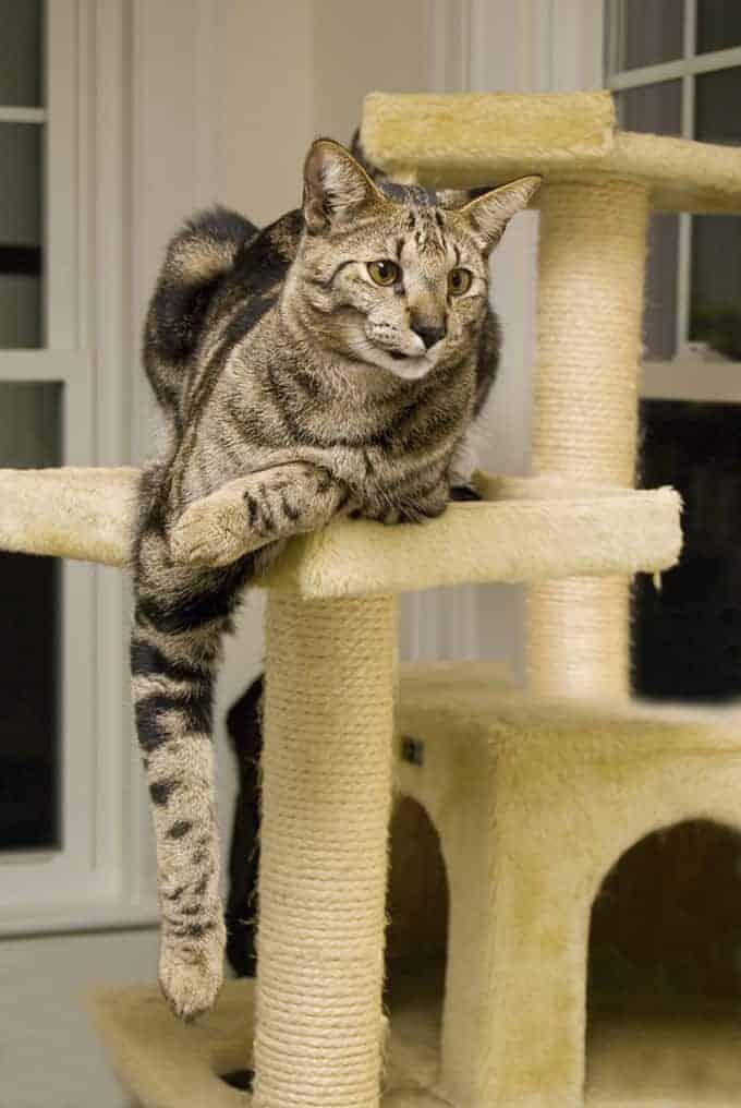 Kot savannah - ile żyje?