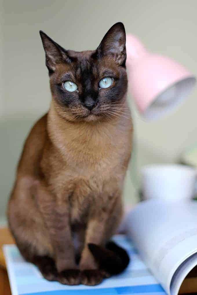 Ile żyją koty tonkijskie?