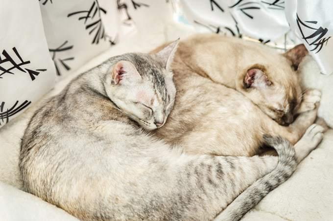 Ile żyją koty rasy pixie bob?