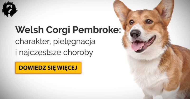 Welsh Corgi Pembroke: charakter, pielęgnacja i choroby