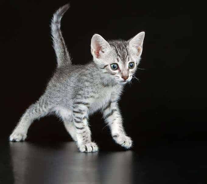 Ile żyje kot egipski mau?