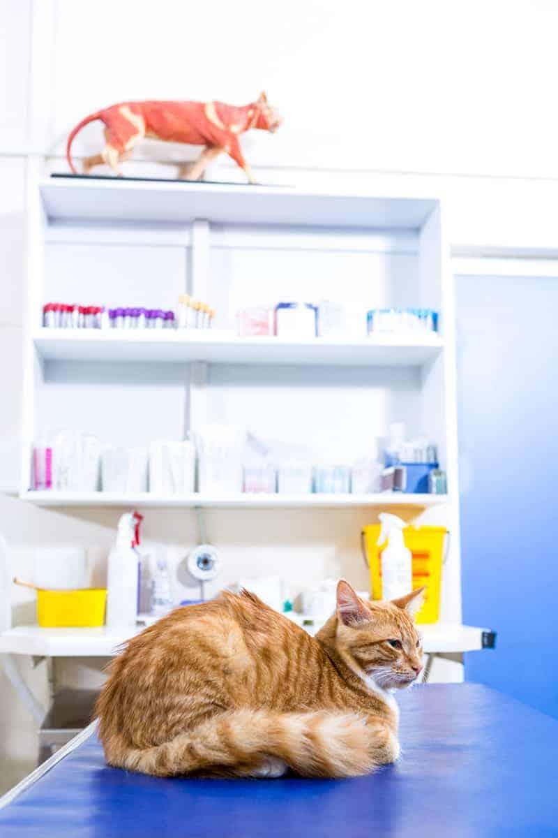 Mocznica u kota leczenie