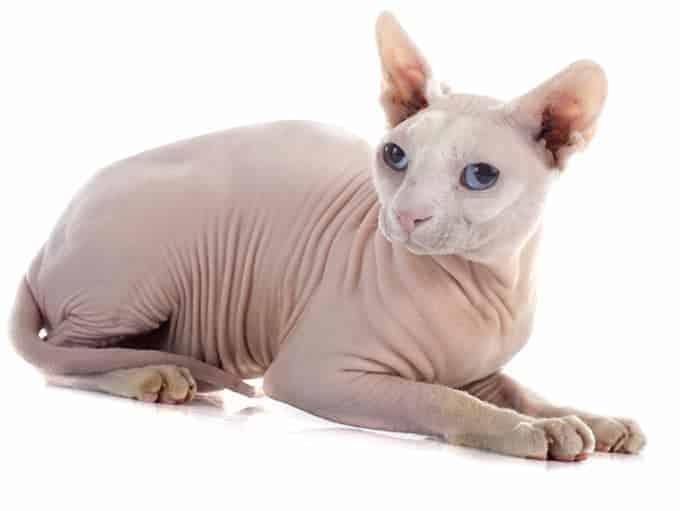 Jak długo żyje kot sfinks?