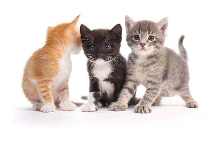Wpływ umaszczenia na występowanie chorób u kotów