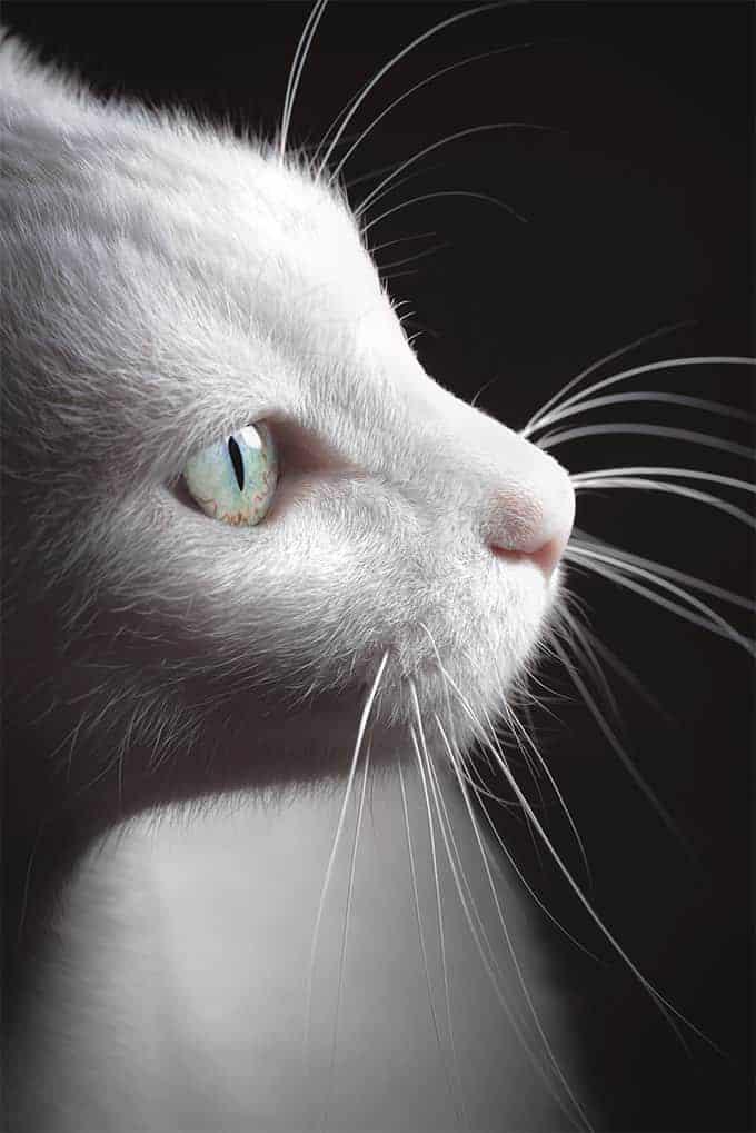 Ile żyje kot Van turecki?