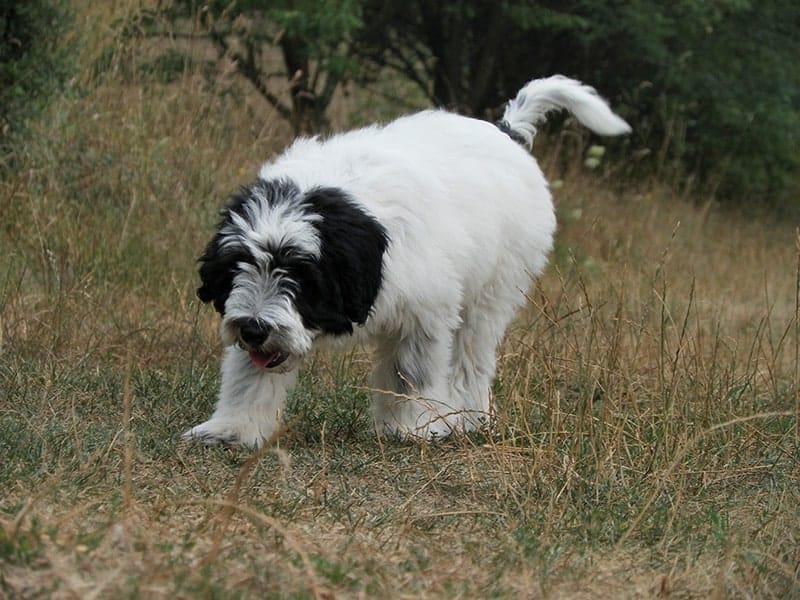 Czy warto zdecydować się na polskiego owczarka nizinnego?