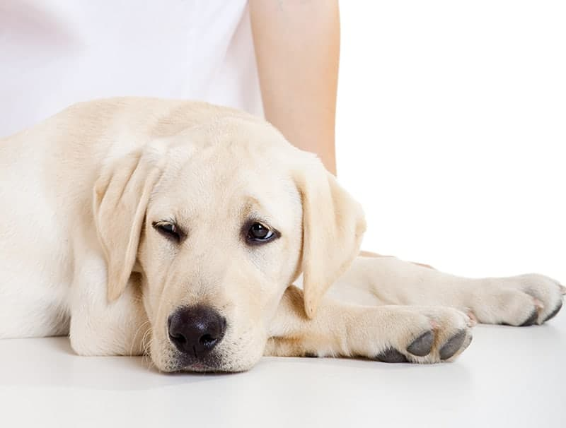 Przepuklina u psa symptomy