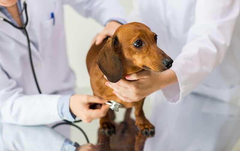 Rozpoznawanie udaru u psa