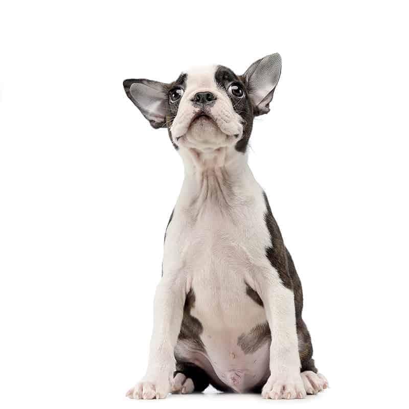 Boston Terrier szata i umaszczenie