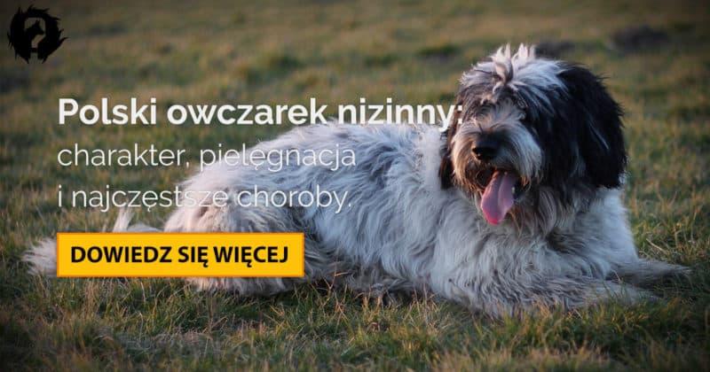 Polski owczarek nizinny: charakter, pielęgnacja i predyspozycje do chorób