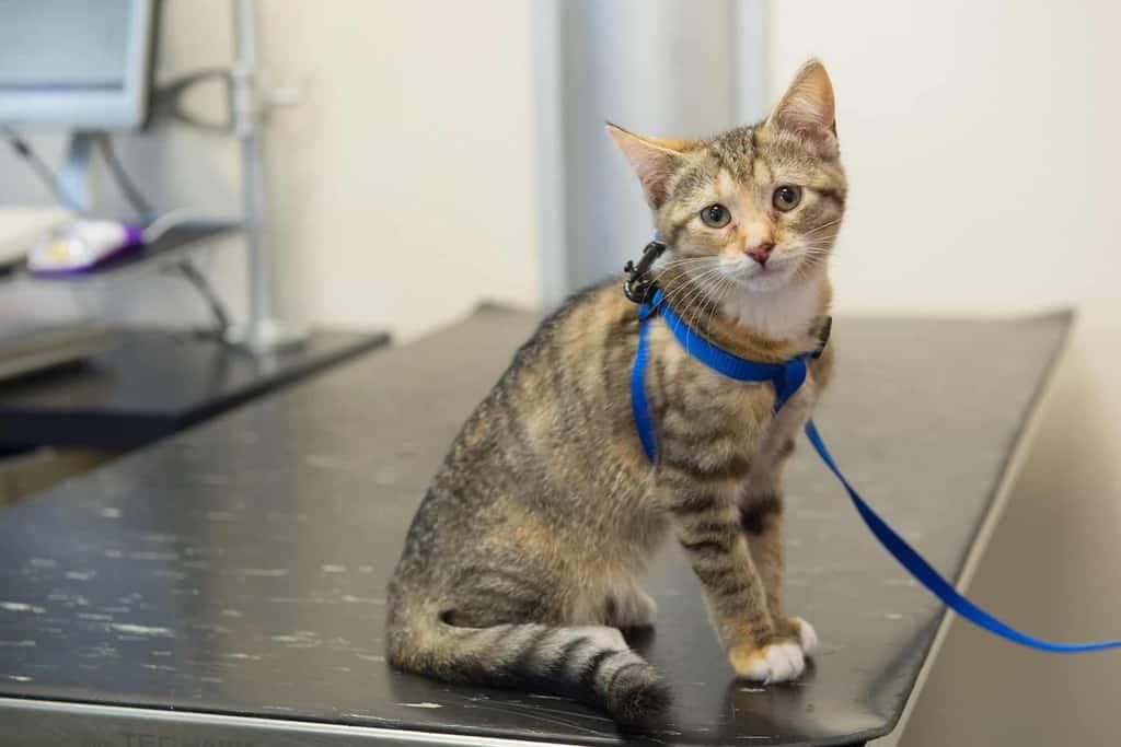 Stłuszczenie wątroby u kota