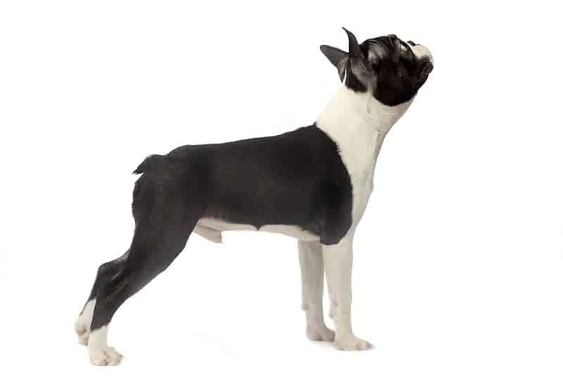 Boston terrier opis rasy