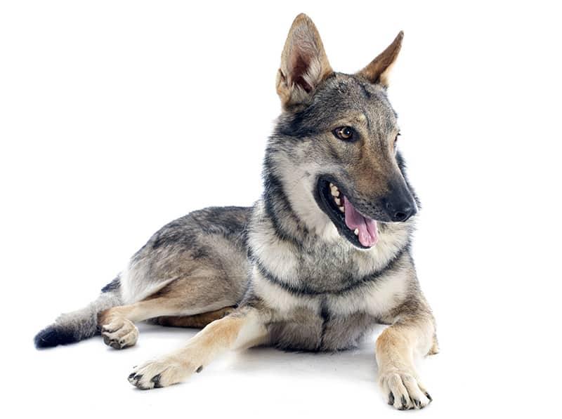 Pies wilczak