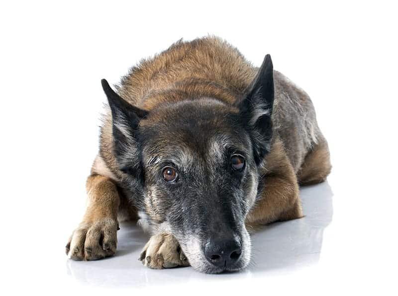 Objawy glistnicy u psa