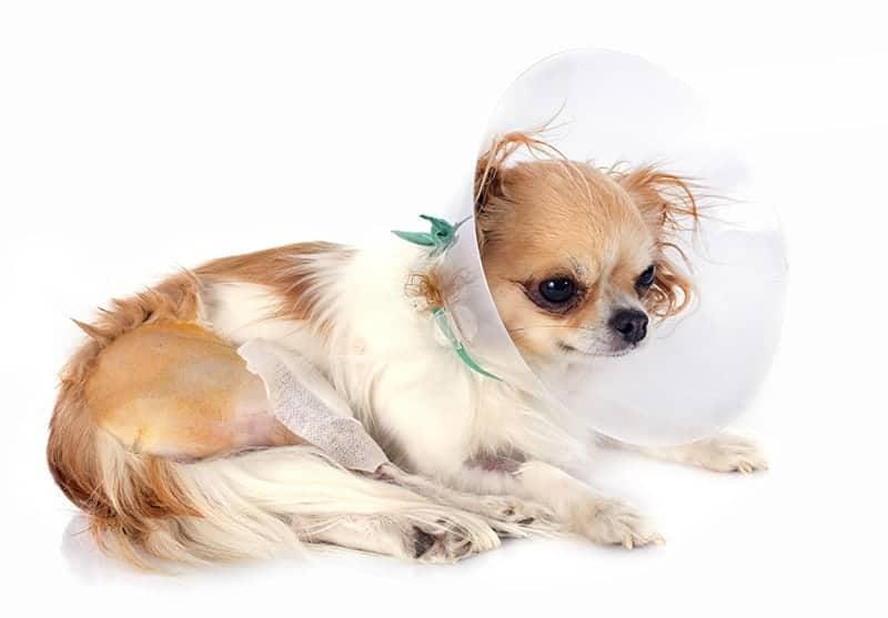 Ropień u psa leczenie