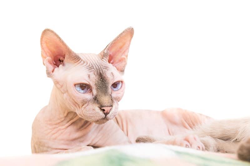 Kot Sfinks Charakter Pielęgnacja I Najczęstsze Choroby Sfinksów