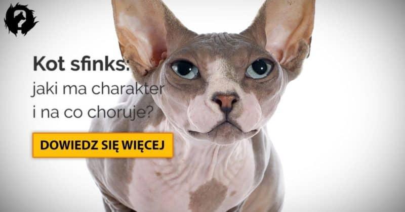 Kot sfinks: charakter, pielęgnacja i najczęstsze choroby sfinksów